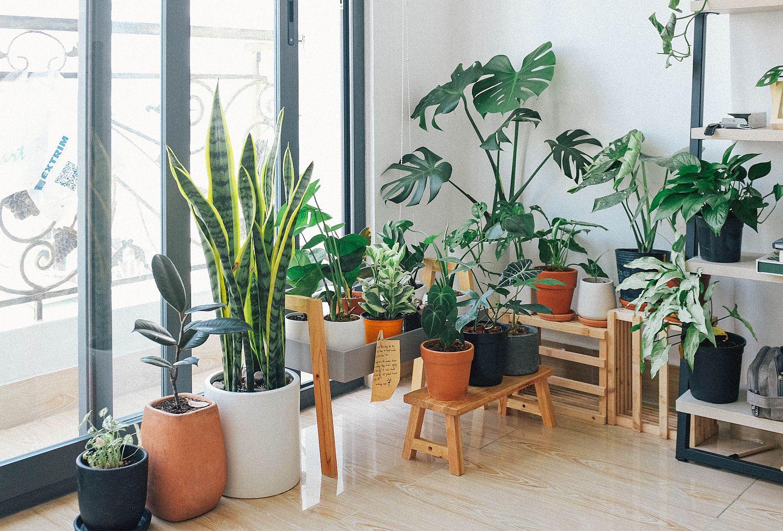 монстера описание растения