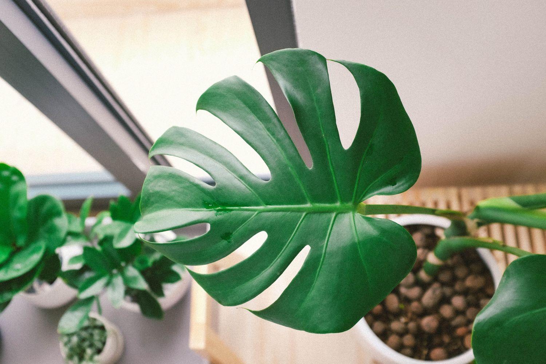 растение монстера уход