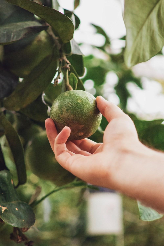плоды авокадо или цветы авокадо, опыление авокадо