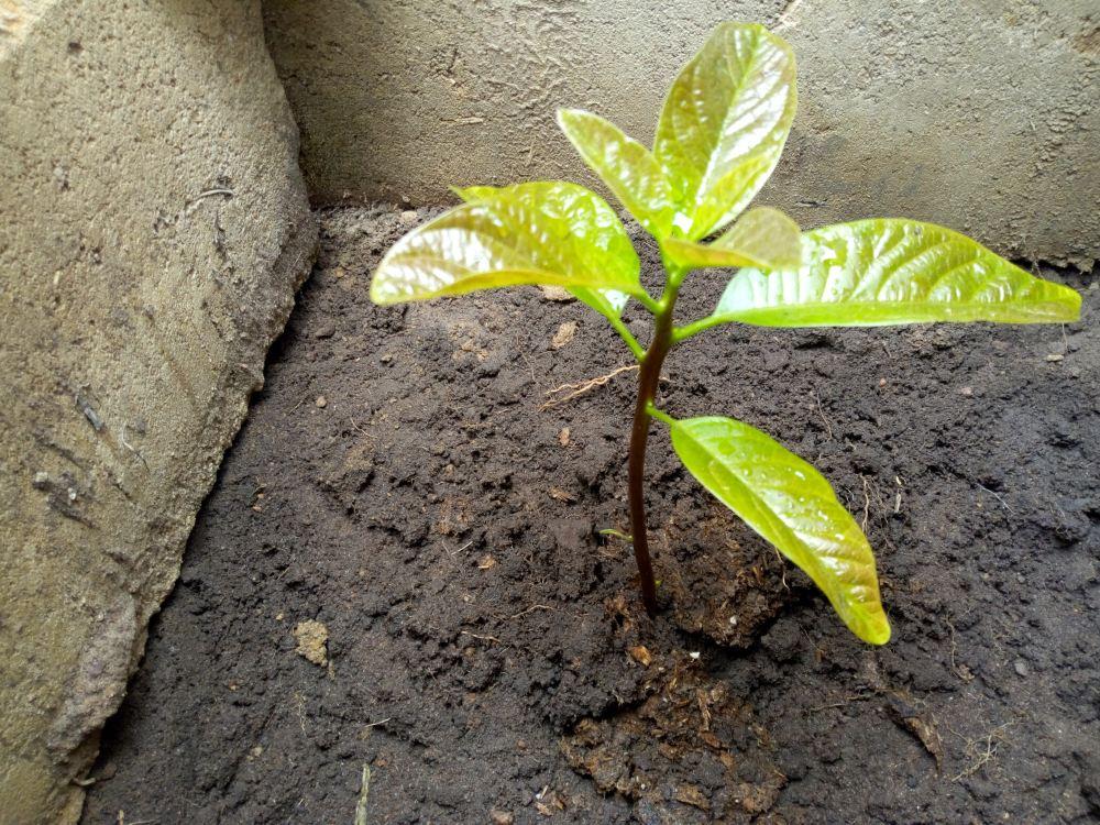 как посадить авокадо, как вырастить авокадо, авокадо с семенами в горшке